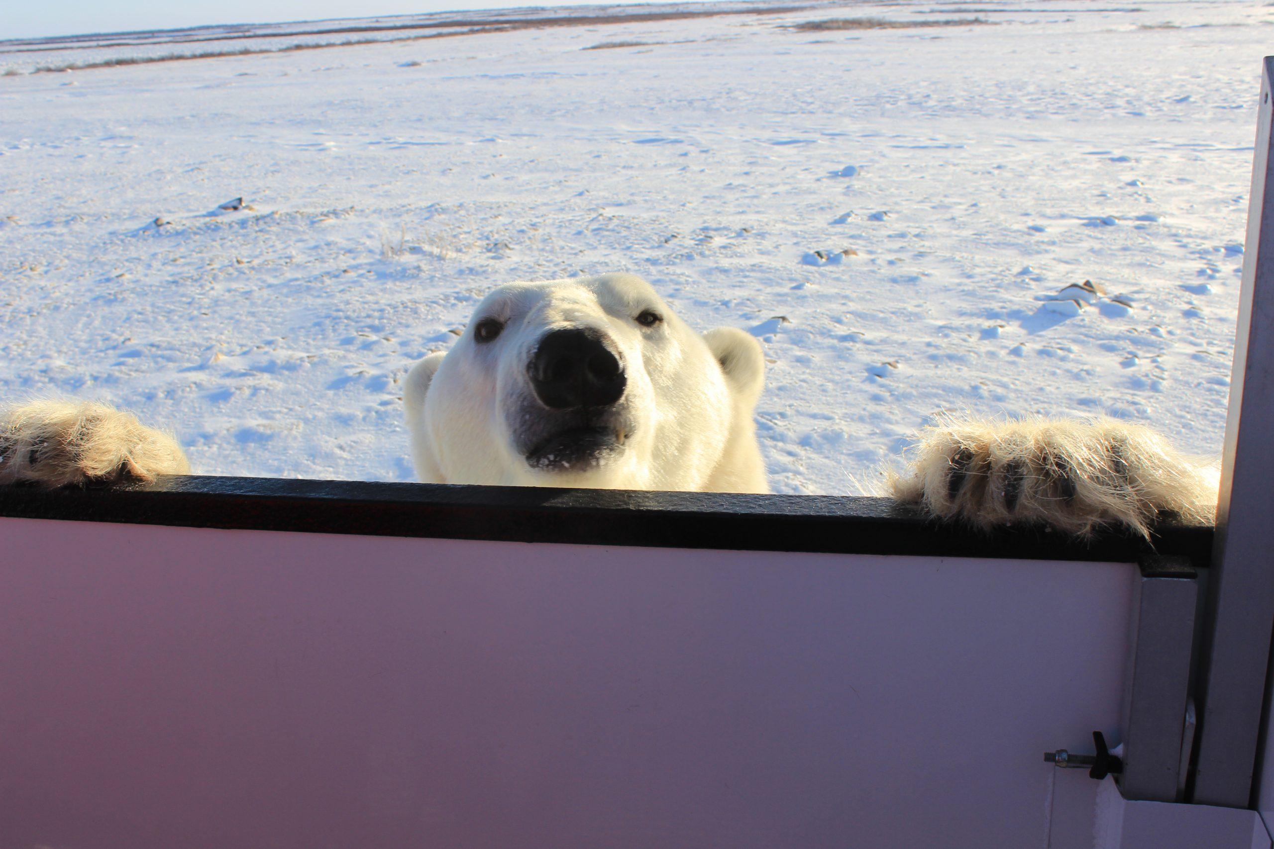 Peek-a-boo polar bear