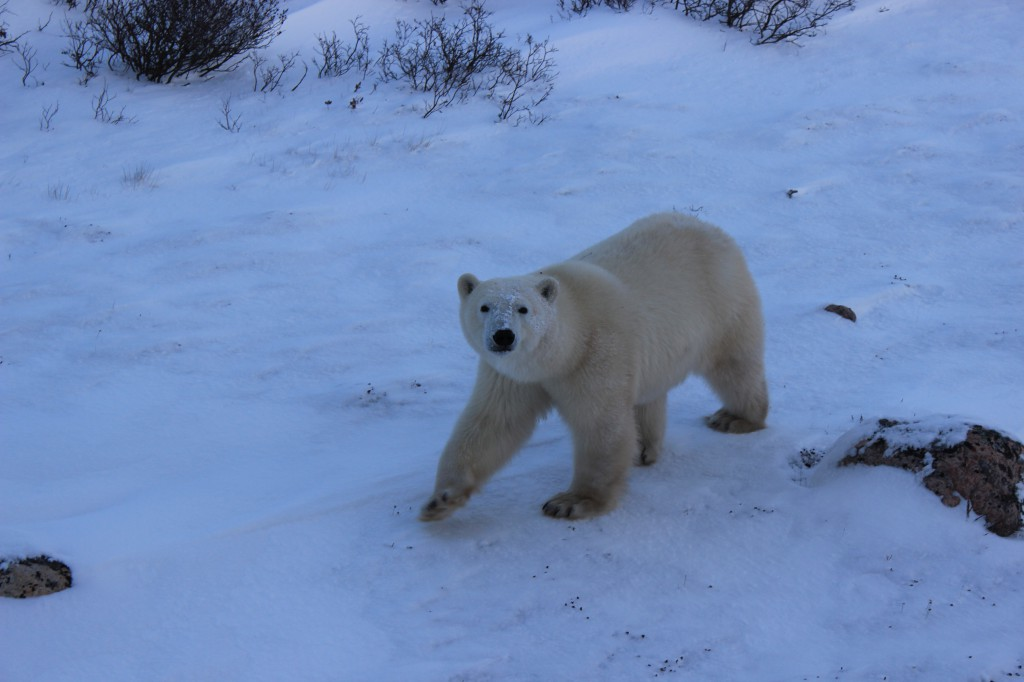 A majestic polar bear, spotted on our Tauck expedition.
