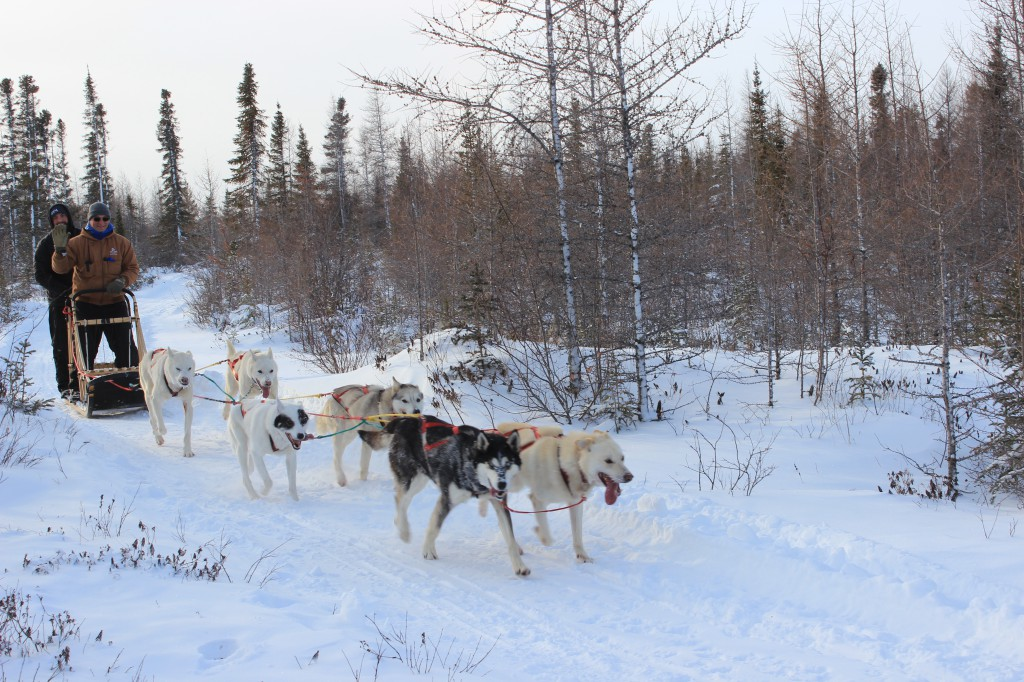 Dogsledding with Wapusk Adventures.