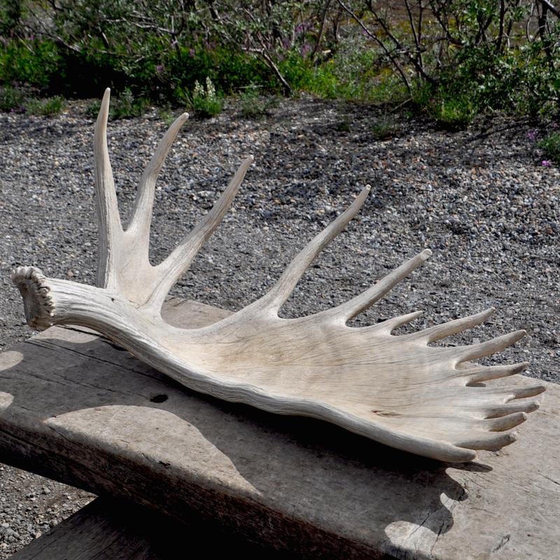 Denali Antlers