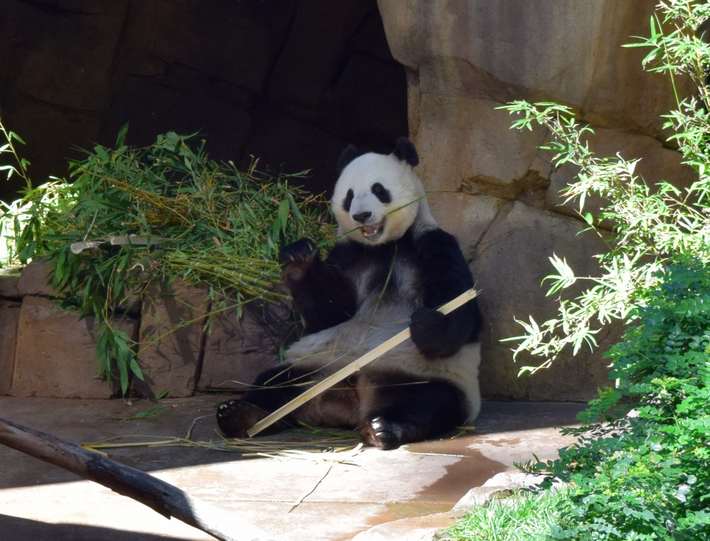 Giant panda at the San Diego Zoo by Megan Murphy with Contiki
