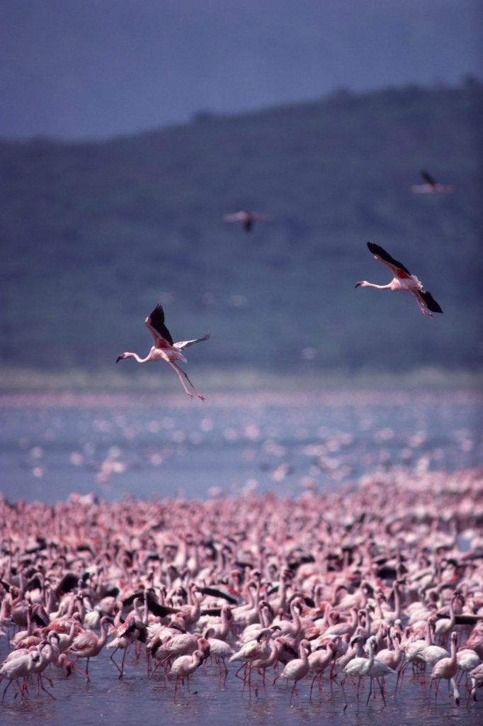 Kenya - Lake Nakuru Flamingos - Credit Kenya Tourist Board