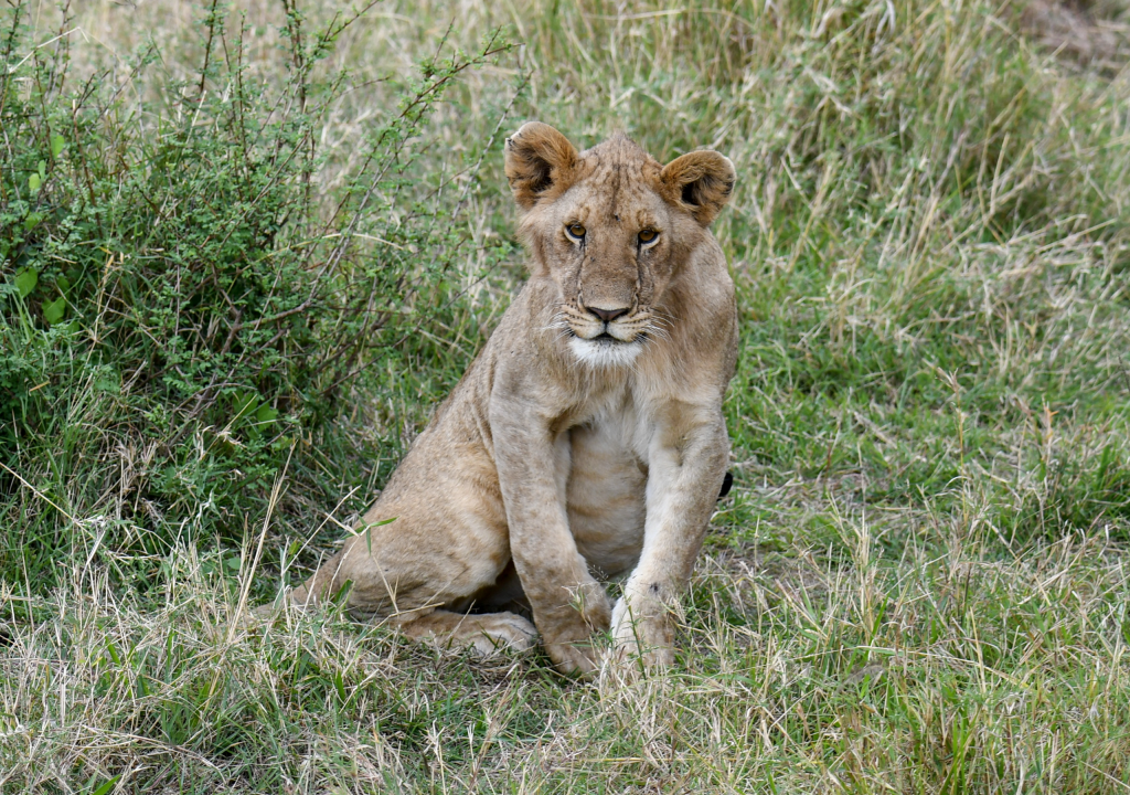1. Small lion cubs have spots on their legs and underbellies