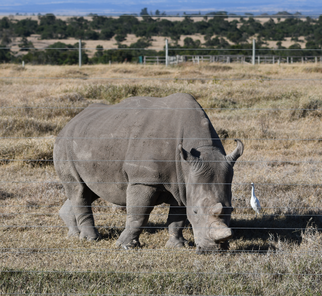 1. The world's last two remaining northern white rhinos, both female, are protected at Ol Pejeta
