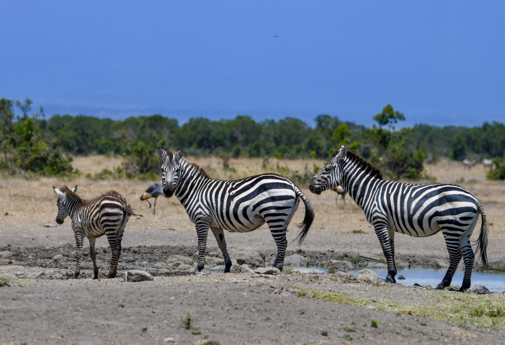 5. Grevy's zebras are the rarest of the three species of zebra
