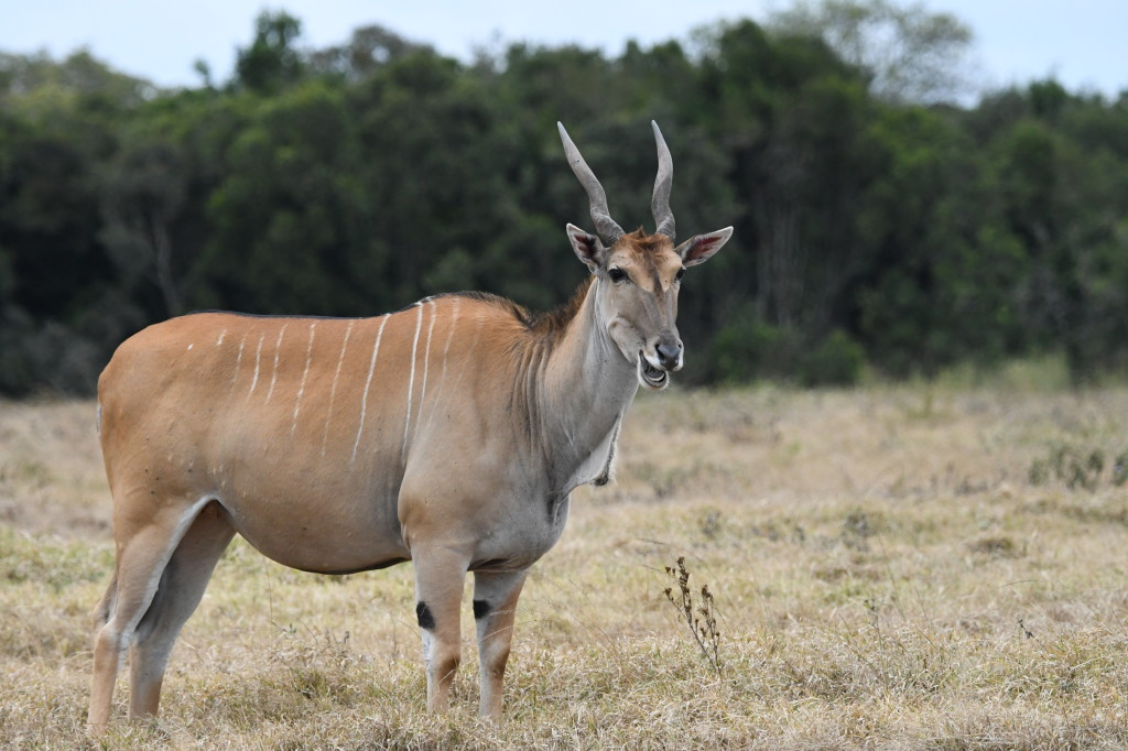 6. Large eland takes a break from grazing to flash a smile