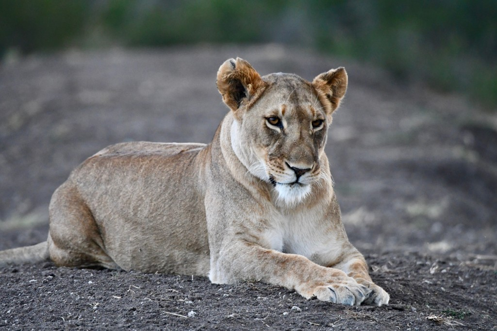 6. Ol Pejeta Conservancy is home to six resident lion prides