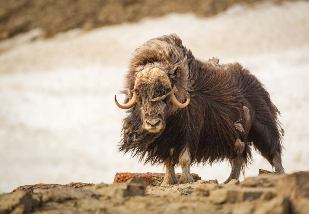 Muskox-Arctic-courtesy-DavidMerron