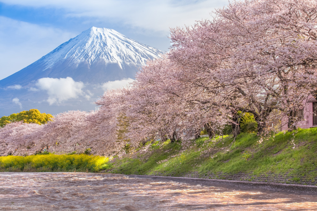 Beautiful Mountain Fuji and sakura cherry blossom