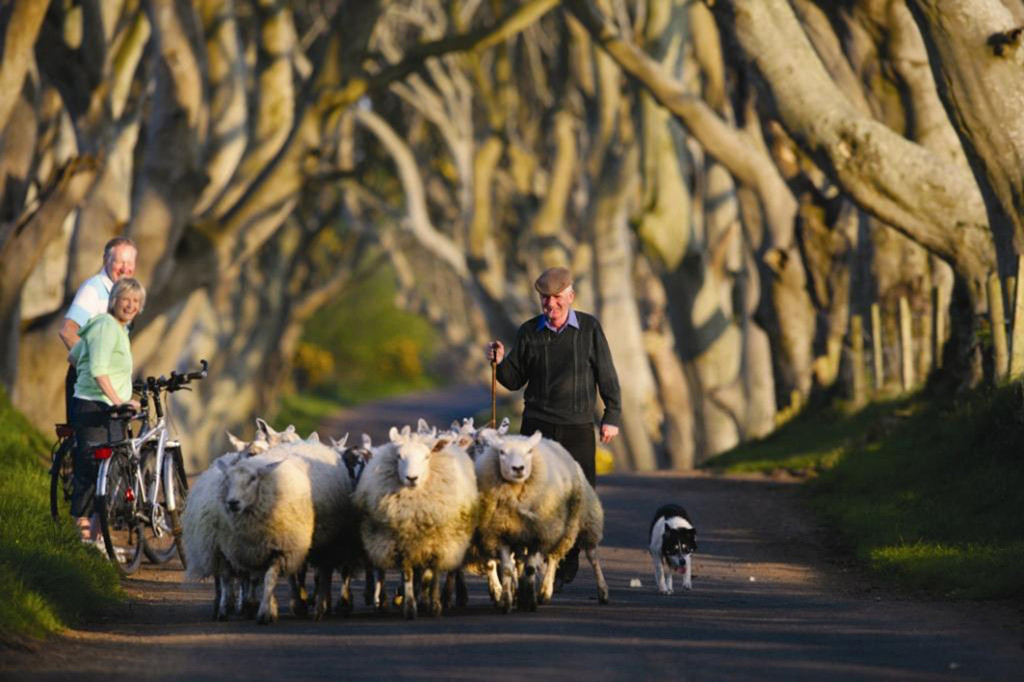 Sheep_The-Dark-Hedges