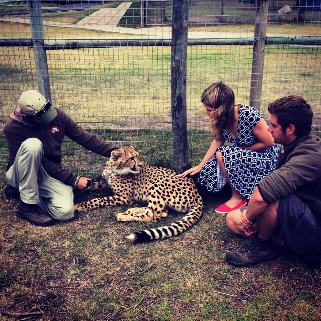 """""""Playing"""" with a cheetah cub"""