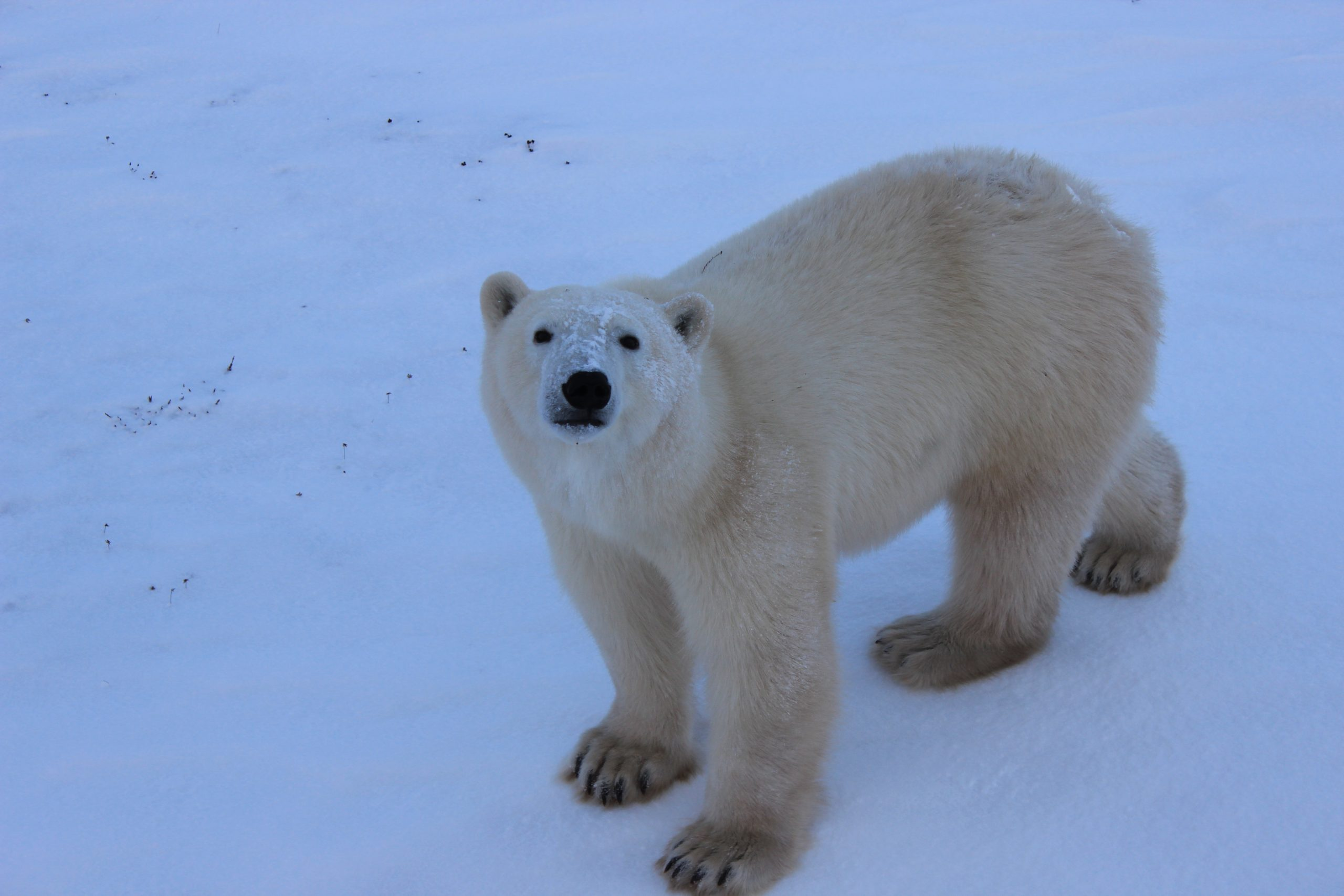 This polar bear was just a few feet from us, looking up at us as we looked back at him.