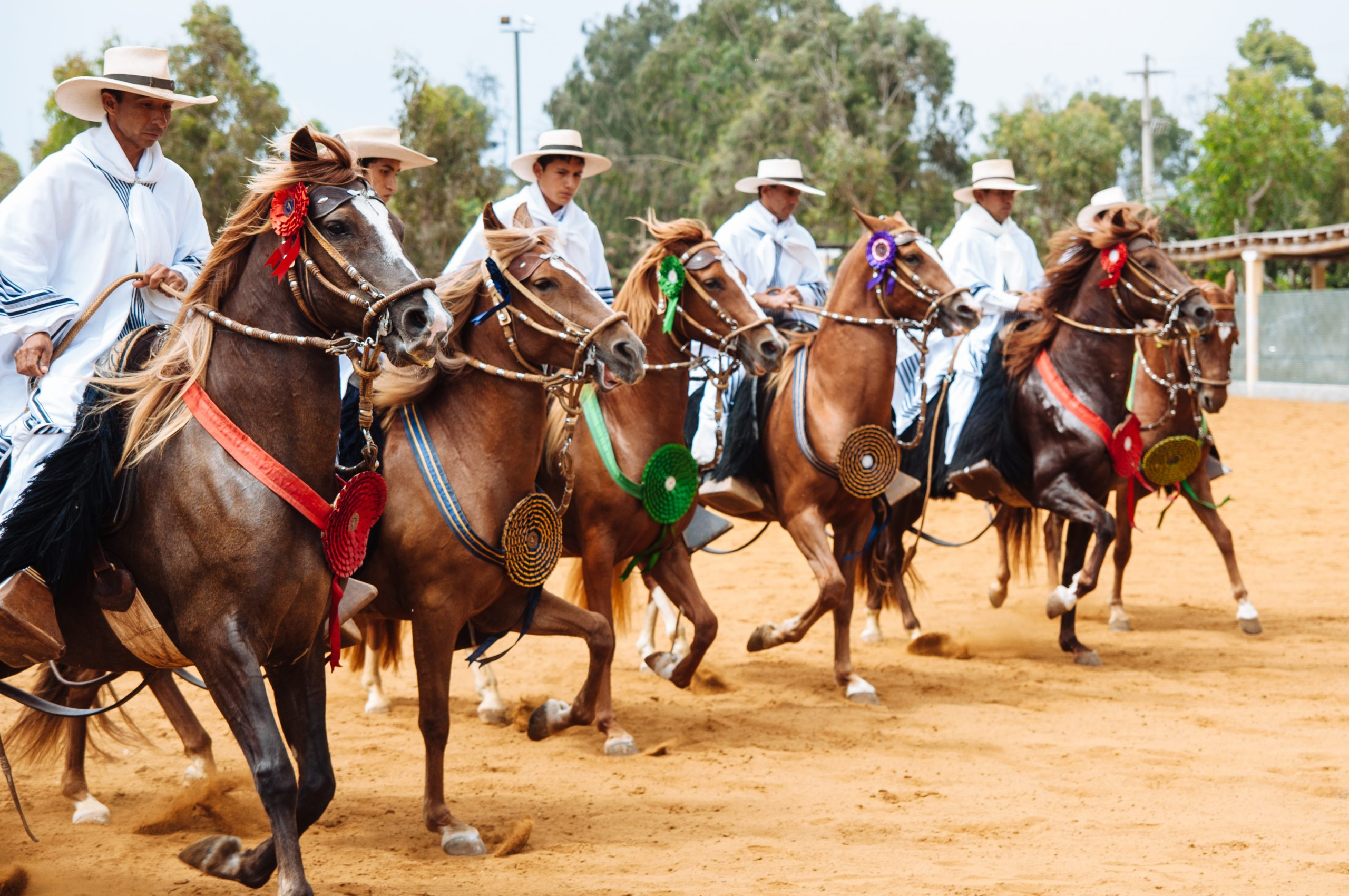 The skilled Peruvian Paso Horse