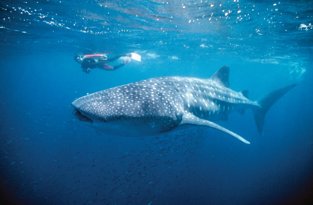 Swimming with whale sharks (credit: Down Under Answers)