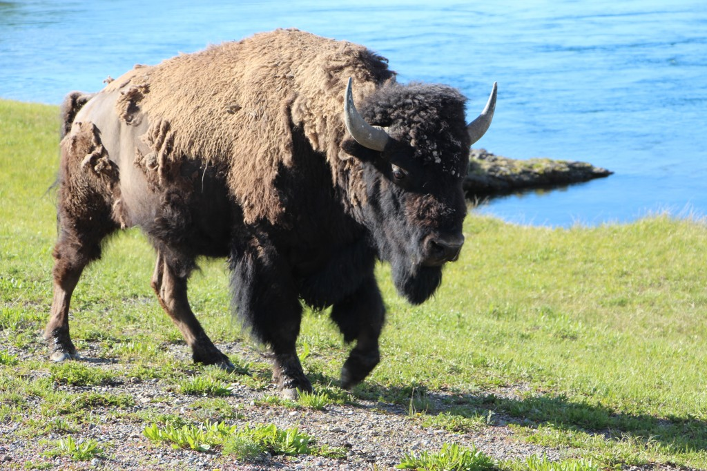 """Austin Guides make guests feel even more at home """"where the buffalo roam"""" as the song goes and let visitors know that technically there are no buffalos in the United States - they are bison."""