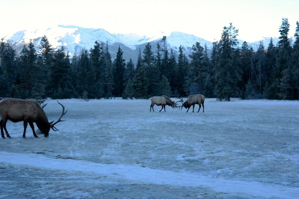 Elk Collette's Canada's Winter Wonderland