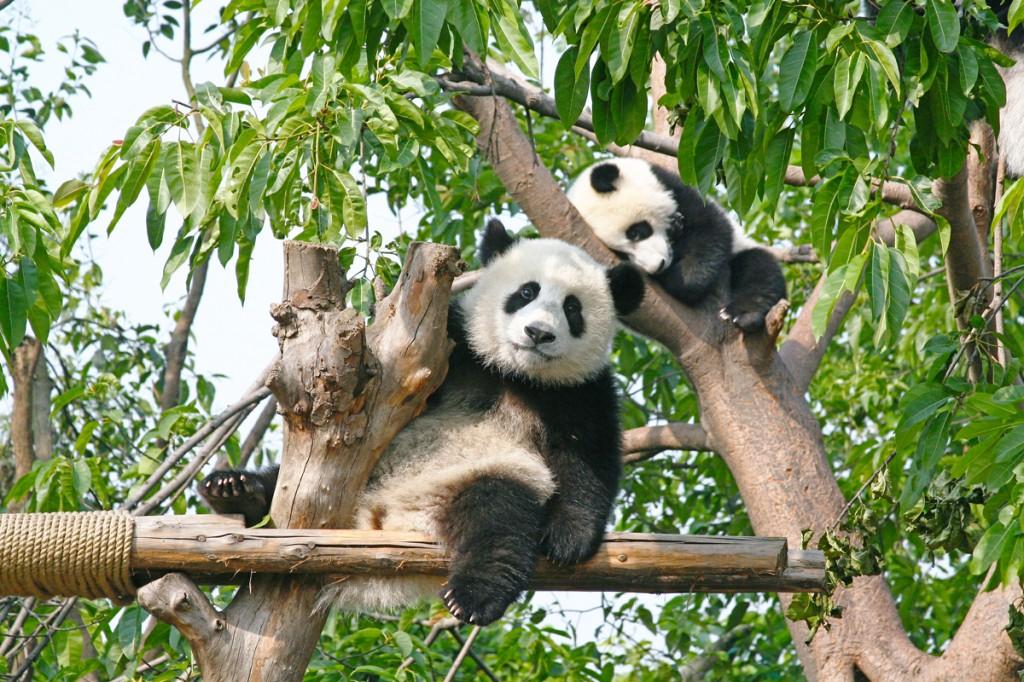 Chengdu_Pandas_Avanti