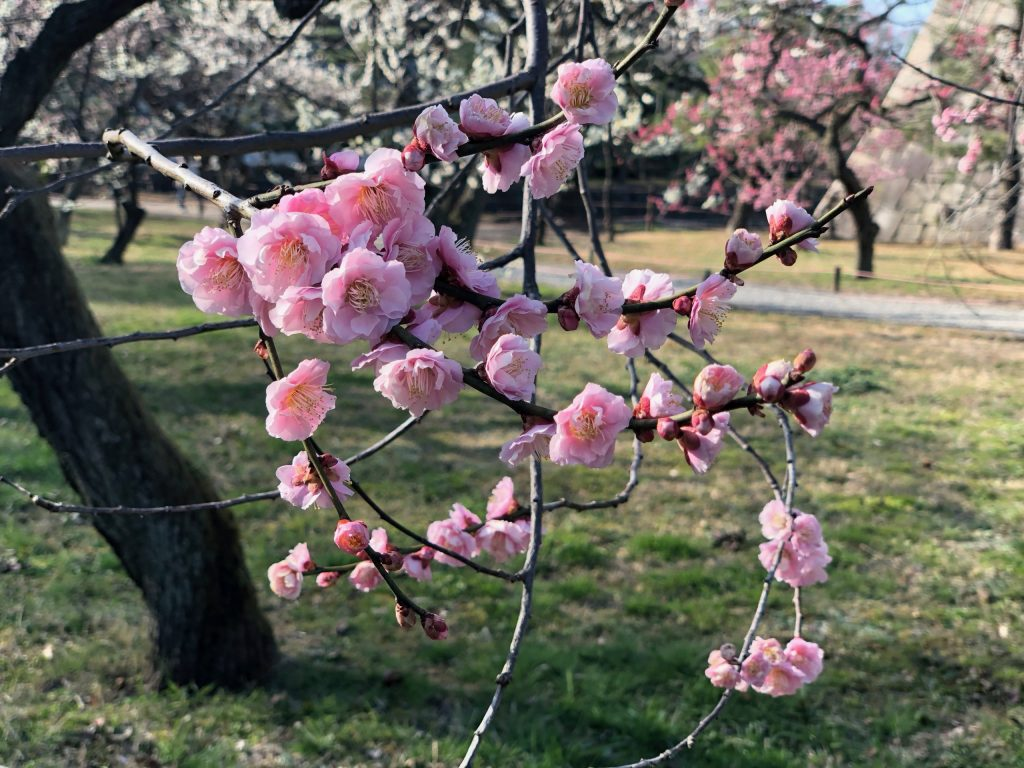 Cherry blossoms up close, Japan_CVO