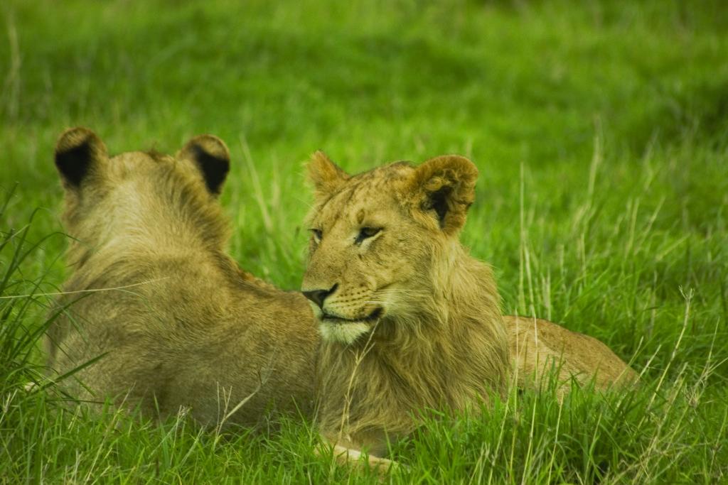 Kenya - Lions in Tall Grass - Credit Erico Hiller