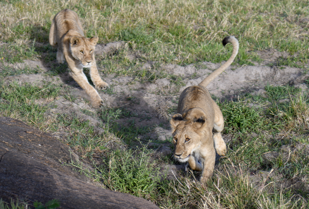 2. Playful lion cubs having a chase on a beautiful, sunny morning