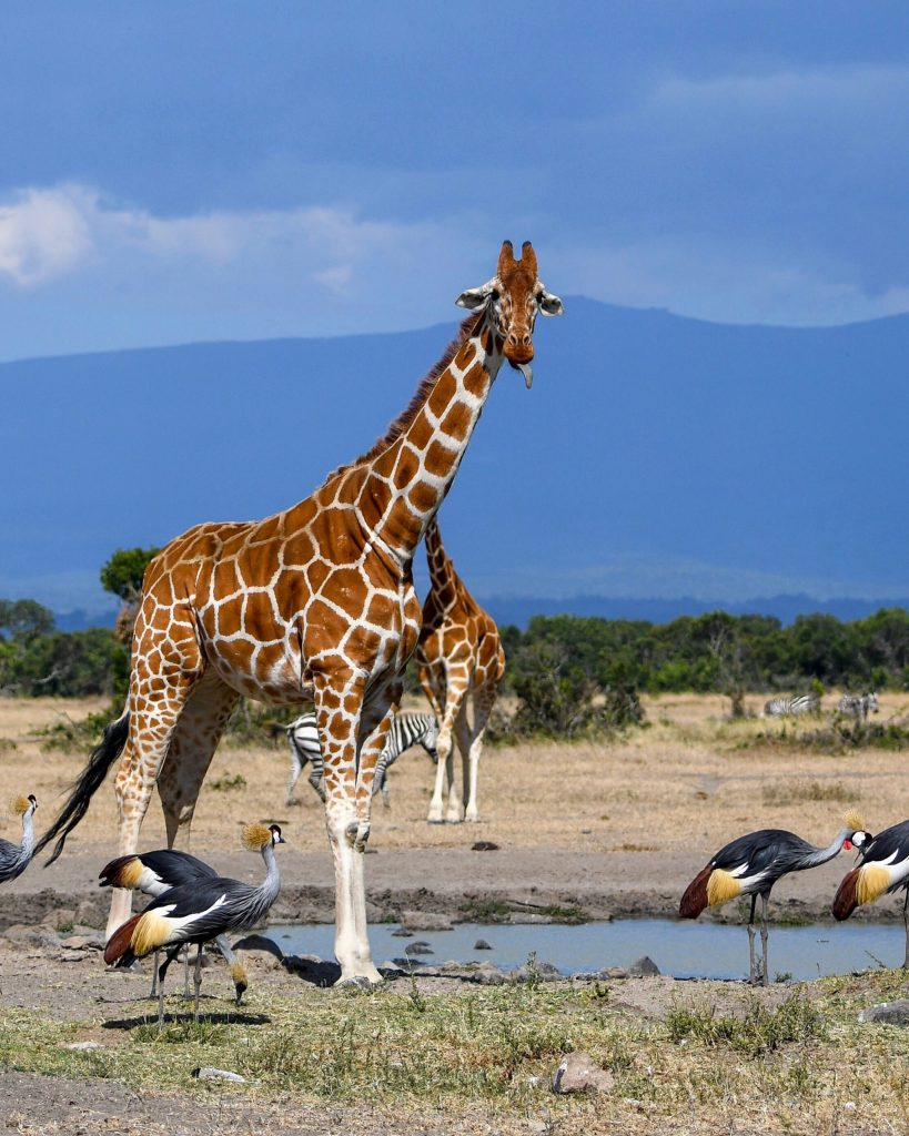 2. Reticulated giraffe flashes his dark tongue at the water hole