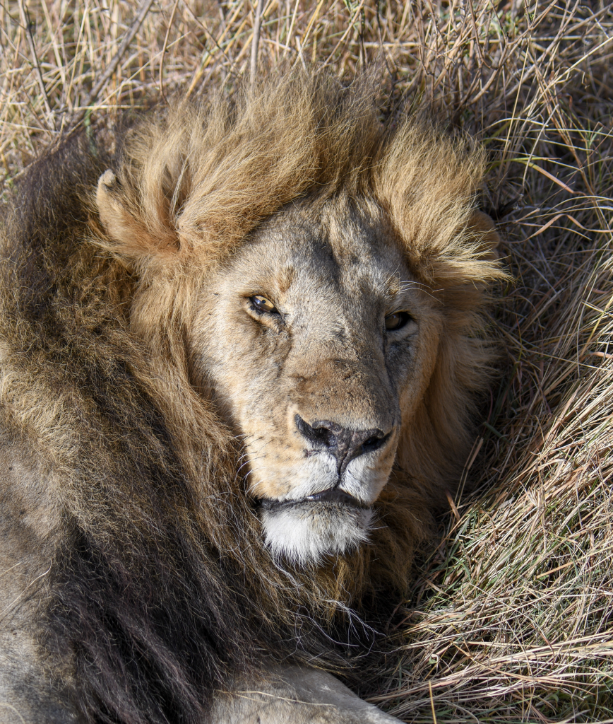 3. Big papa lion wakes from his nap to flash his golden eyes