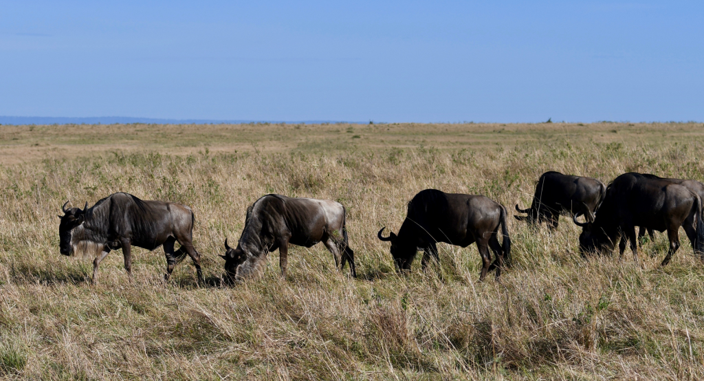 6. Maasai Mara is the famed location of the annual wildebeest migration