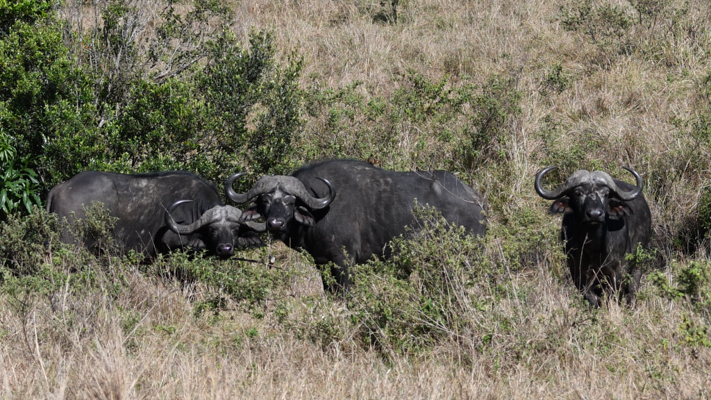 7. Cape buffalos are among Africa's most dangerous animals