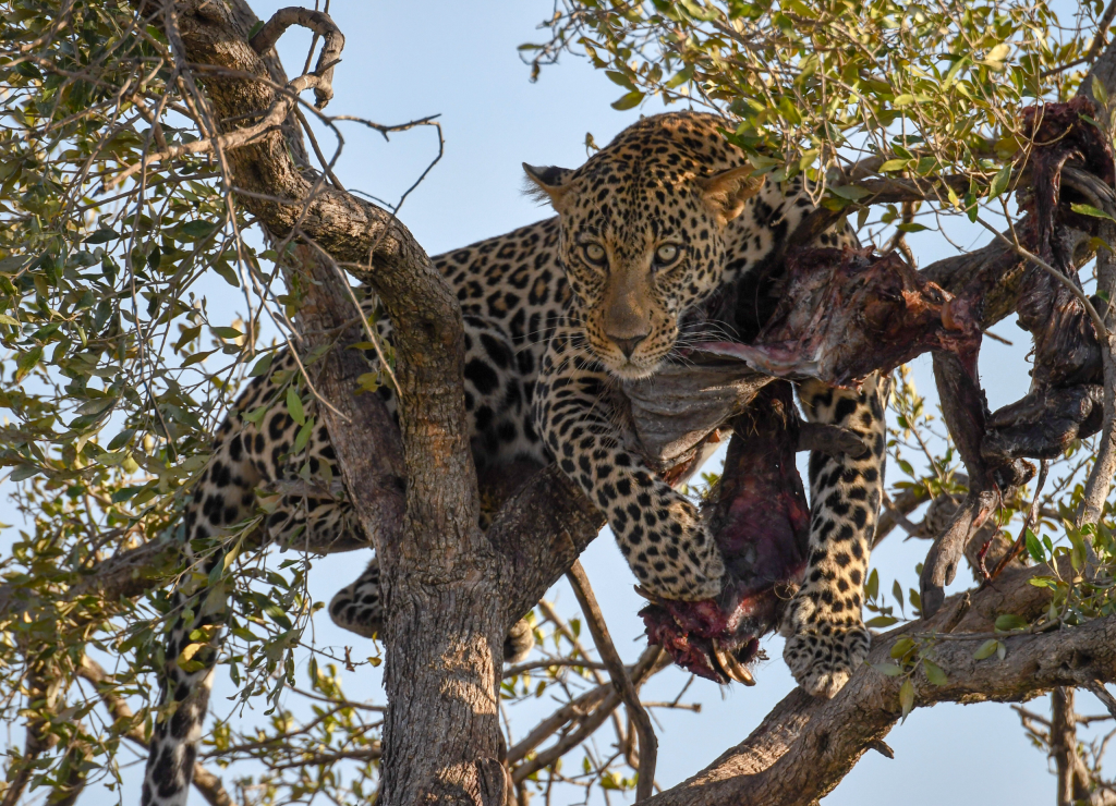 7. High up in a tree, an elusive leopard guards his fresh kill