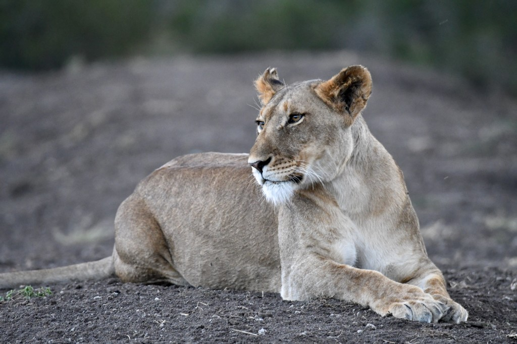 7. Lovely lone lioness lounging at dusk