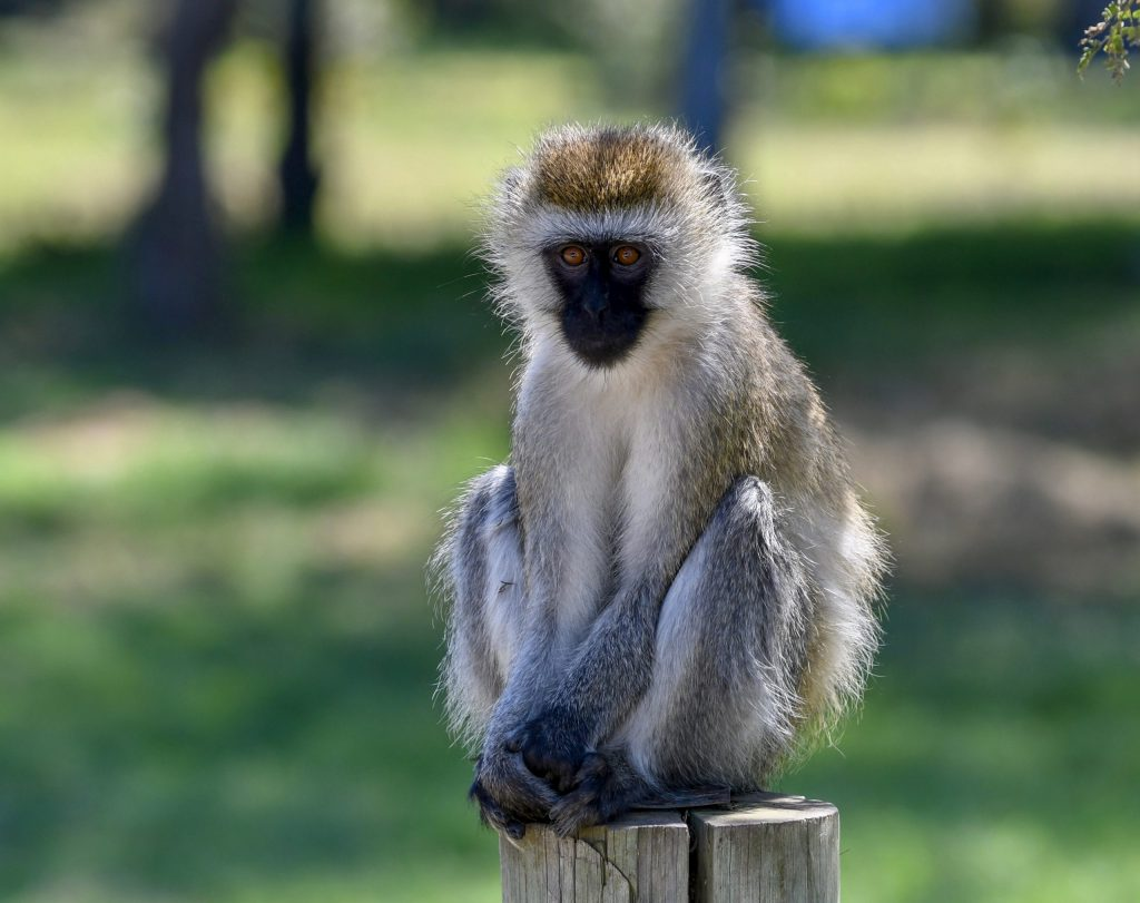 8. Entertaining vervet monkeys are often seen playing and grooming each other