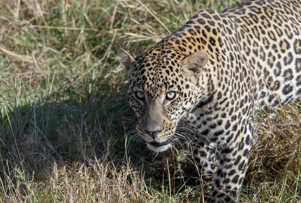 8. Leopard intensely gazing with fierce amber eyes