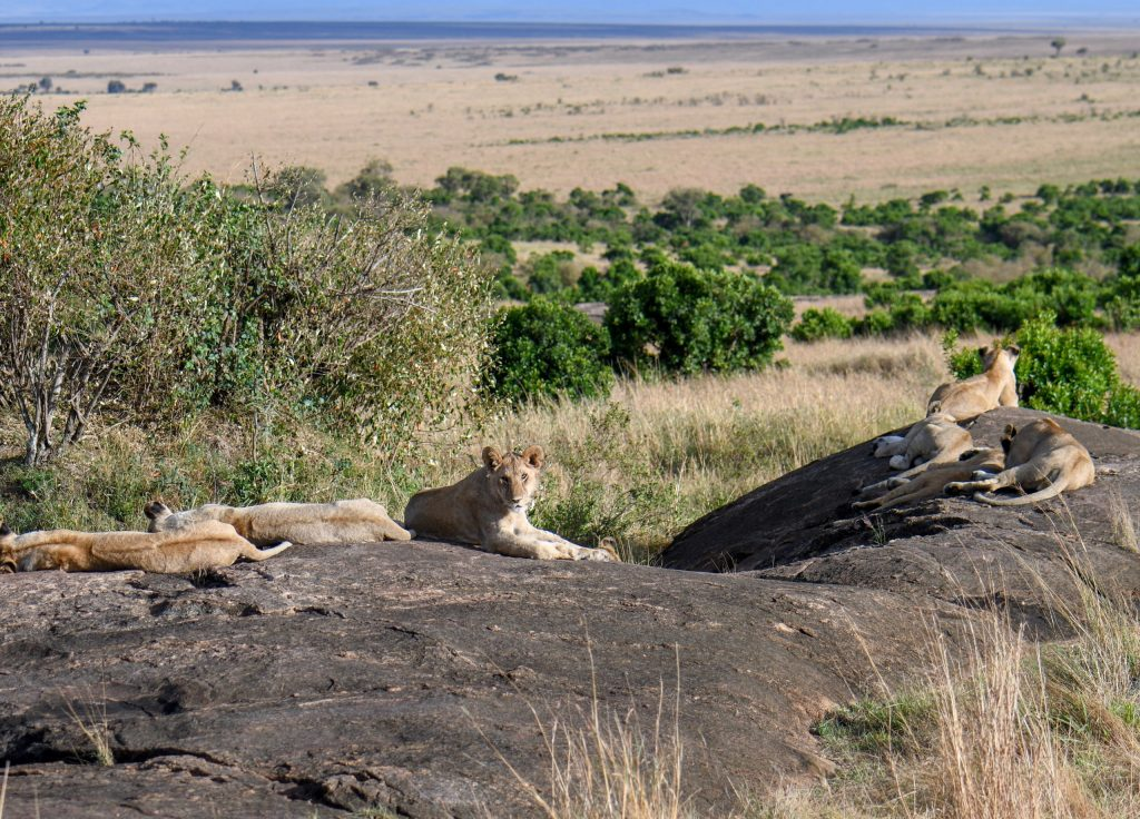 8. Spotted so many young simbas during my safari