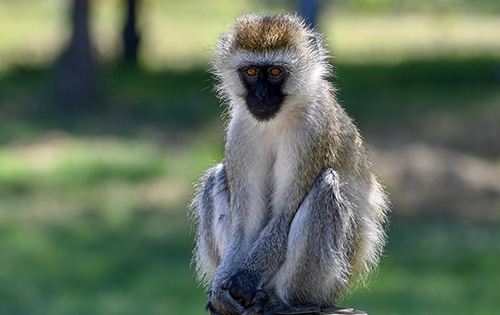 8. Entertaining vervet monkeys -8