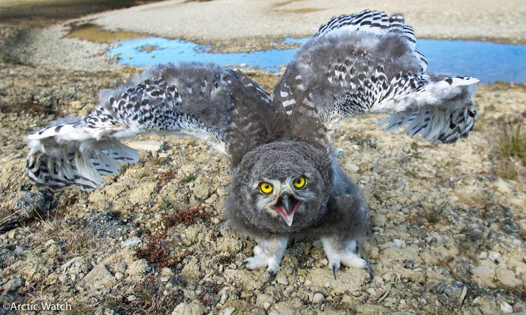 Arctic-birds-David-Merron