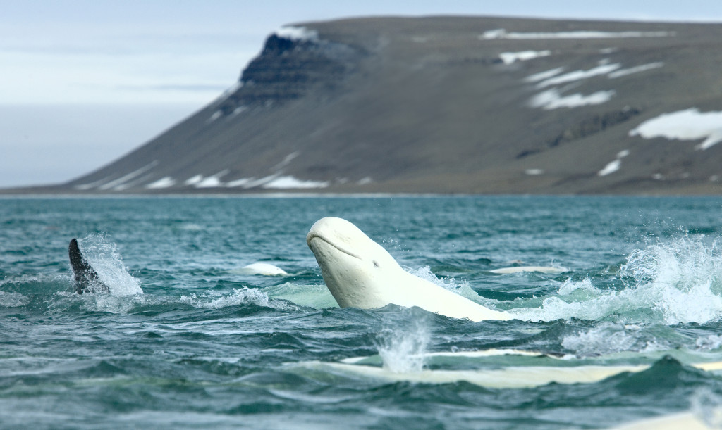 Belugas_CunninghamInlet-Arctic-courtesy-ArcticWatch
