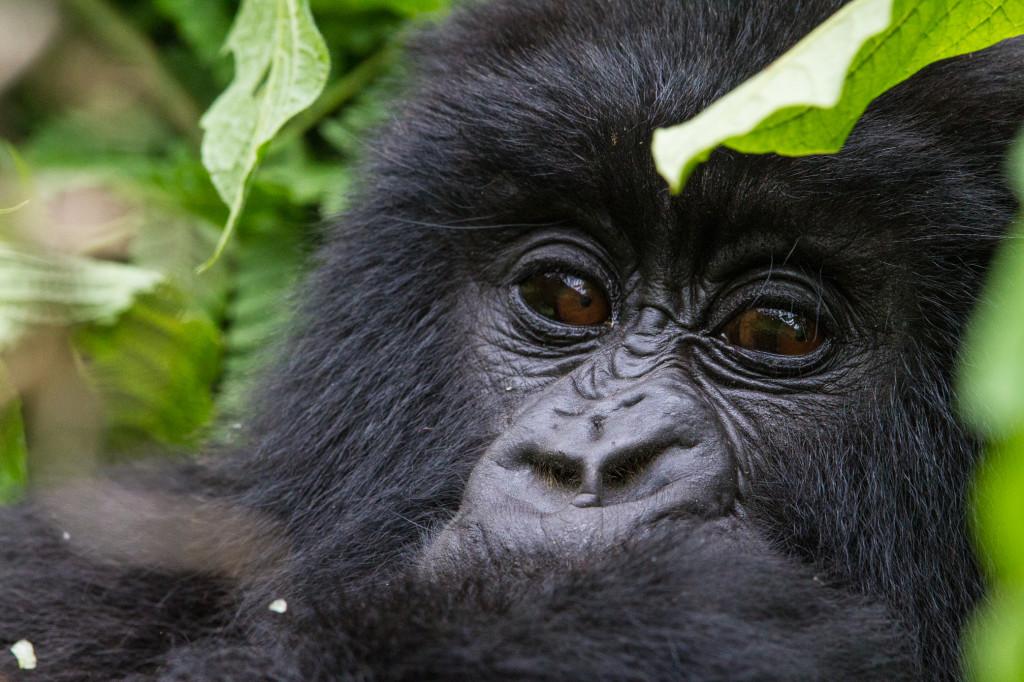 Rwanda_MtnGorilla-2_WildernessSafaris_CCulbert