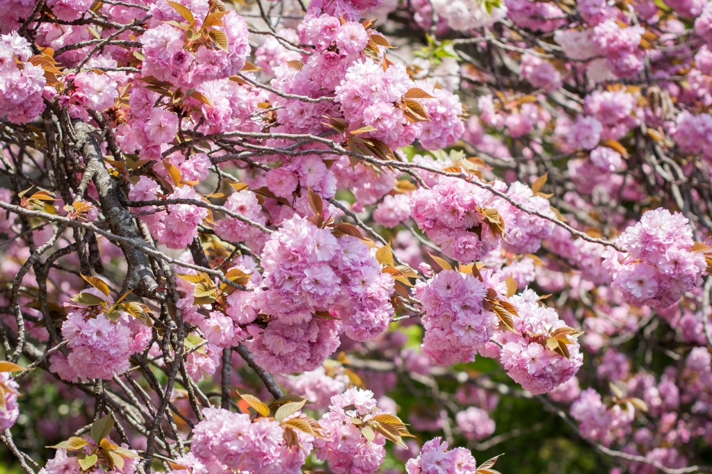 Simons photo of double flowered late cherry blossom
