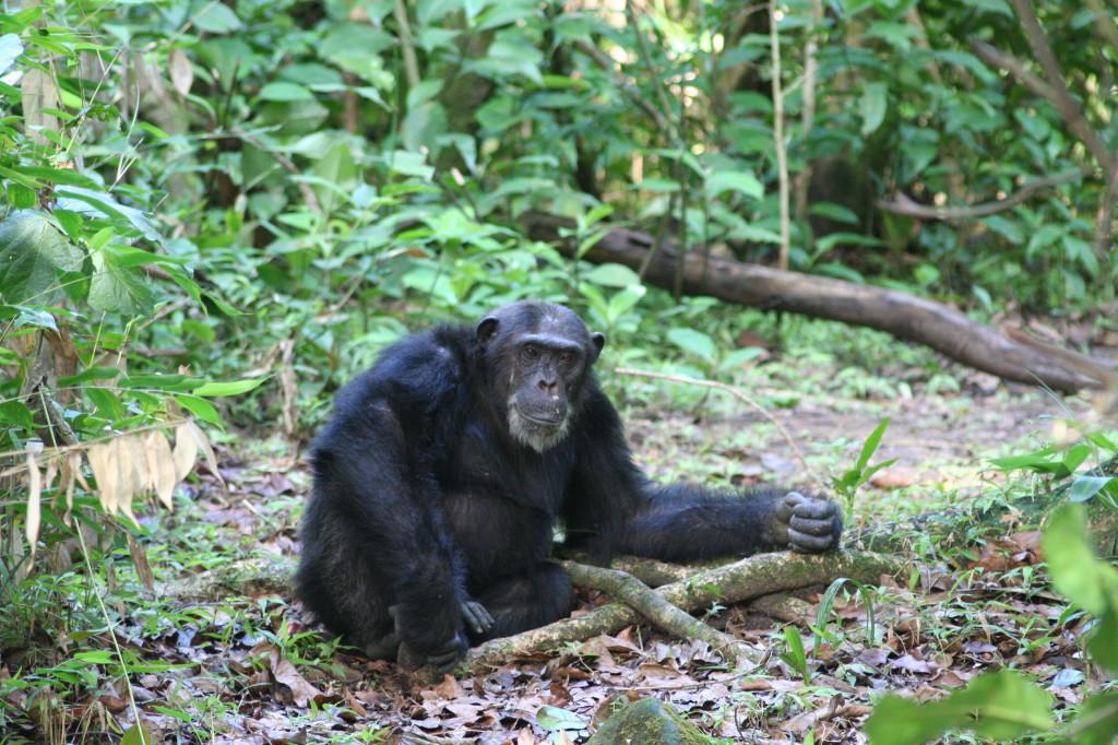 Chimpanzee, Malahe Mountains National Park (248711)