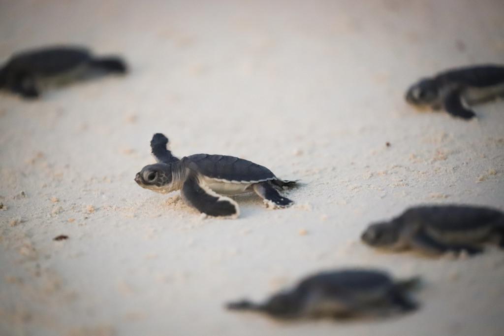 Turtle release on Lankayan Island (7998070)
