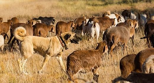 Anatolian Shepherd dogs – Image: Bushmans Kloof