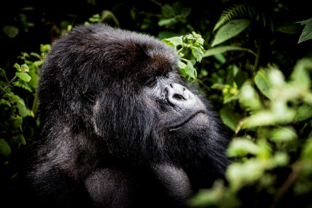 A picture containing mammal, primate, tree, ape  Description automatically generated
