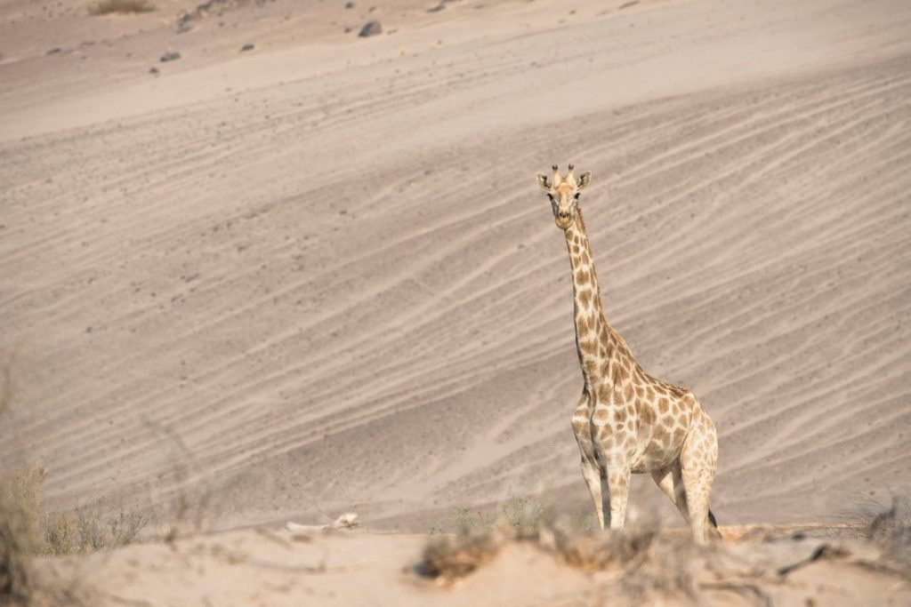 A giraffe standing in a desert  Description automatically generated with medium confidence